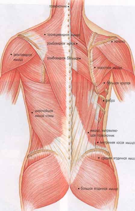 Мышцы различной формы
