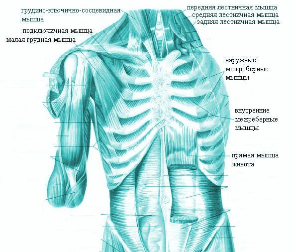 При укреплении грудных мышц слегка увеличится объем грудной клетки, что создаст видимость увеличения