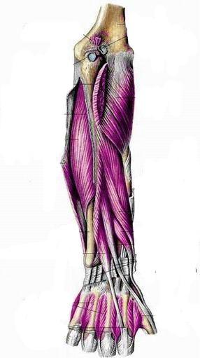 Мышцы предплечья правого