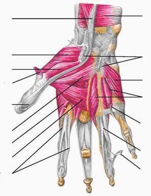 Мышцы кисти правой ладонная сторона