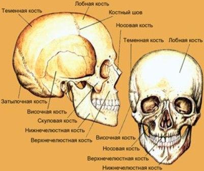 Кости головы (череп)