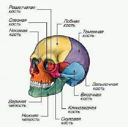Череп (cranium)