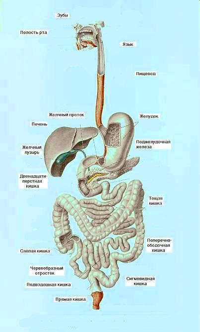 Схема строения пищеварительной