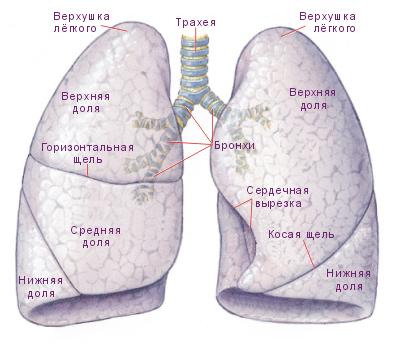 Дыхательная система. Строение