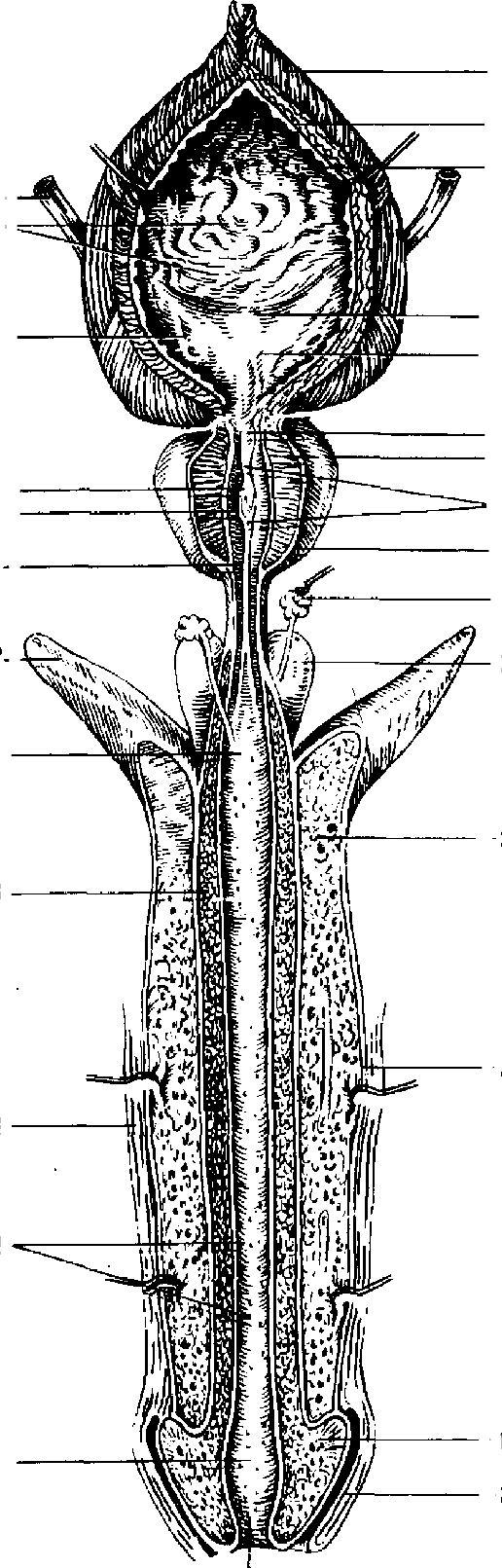 Тело Губчатое