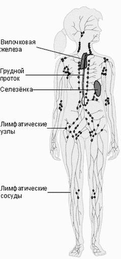 Схема строений лимфатической