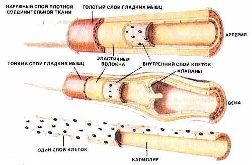 Строение уха человека анатомия и фото схема