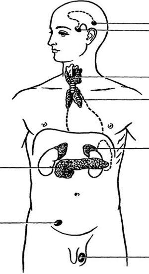 Положение эндокринных желез в теле человека