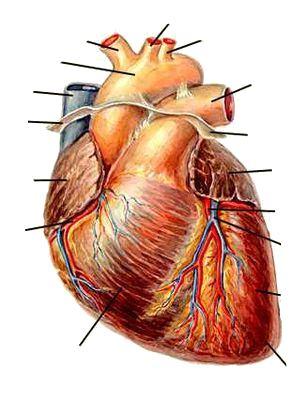 Сердце рисунок и его функции