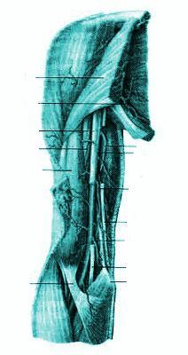 Артерии плеча правого