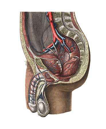 Подвздошные артерии и их ветви