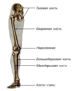 Является длинной трубчатой костью, имеющей диафиз и 2 эпифиза.