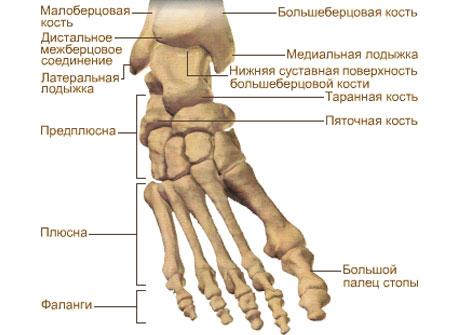 Кости стопы (ossa pcdis)
