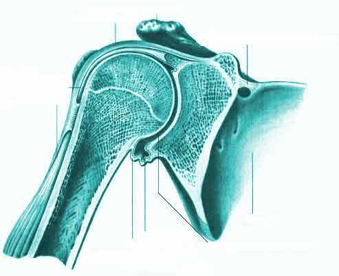 Плечевой сустав articulatio huineri