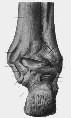 Связки голеностопного сустава